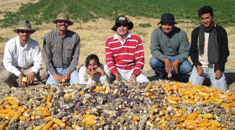 Con maíz mejorado producen alimentos gourmet
