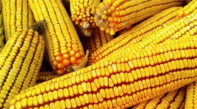 Semilla mejorada de maíz amarillo: alto rendimiento y adecuación a la zona centro de México